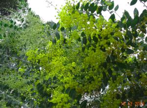 mimosa en decembre